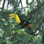 Image of Keel-billed-Toucan from Panama - Cruise and Tour Planners