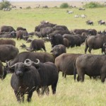 Buffalo-meanest animal in Africa
