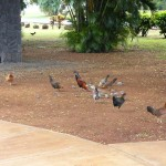 Famous chickens of Kauai